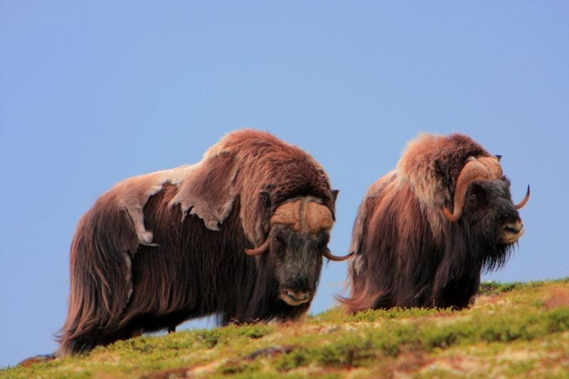 Musk oxen on a hill