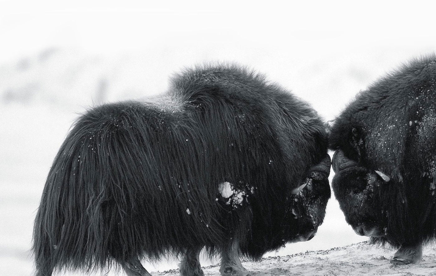 QIVIUT & CO two male musk oxen fight